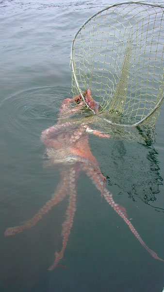 Photo of Giant Pacific Octopus inside fishing net.