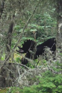 Photo of bull moose near Tobin Harbor