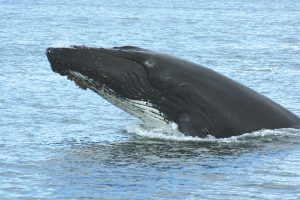 """A humpback whale says """"Hi"""" less than 100 feet from the boat."""