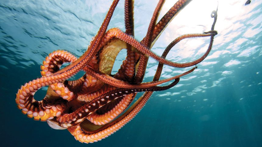 Photo of a Giant Pacific Octopus accompanying A Fish Tale.
