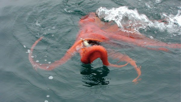 Giant Pacific Octopus accidentally hooked while fishing for halibut