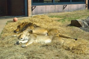 University of North Alabama mascots, Leo II and Una, live in a habitat on campus.